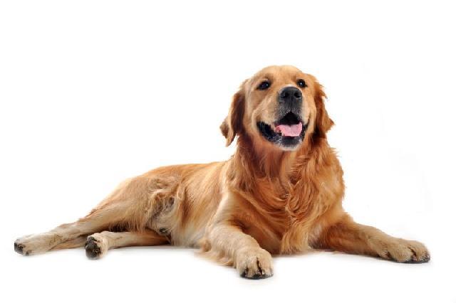 cachorros-grandes