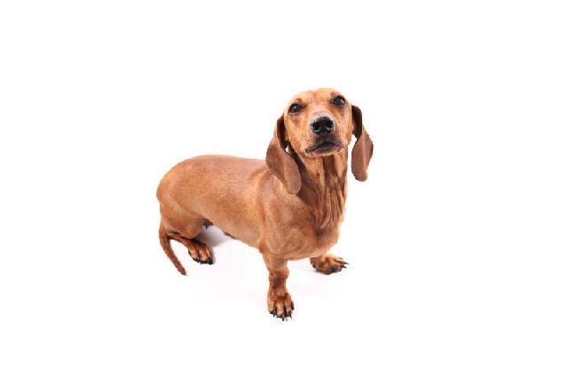 cachorros-para-apartamento-dachshund