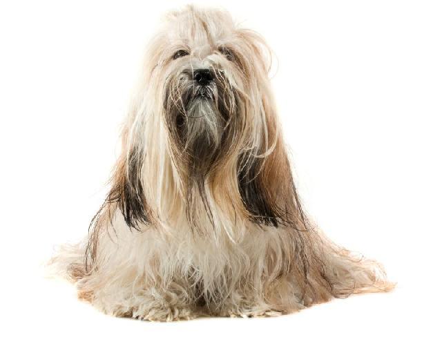 cachorros-para-apartamento-lhasa-apso
