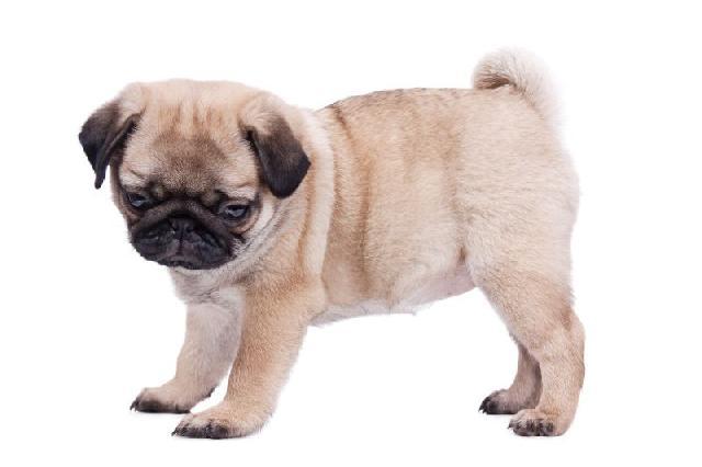 cachorros-para-apartamento-pug