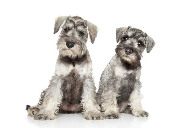 cachorros-para-apartamento-schnauzer
