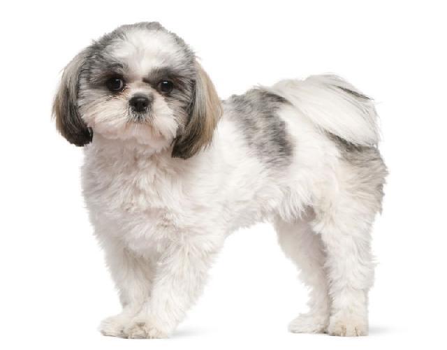 cachorros-para-apartamento-shih-tzu