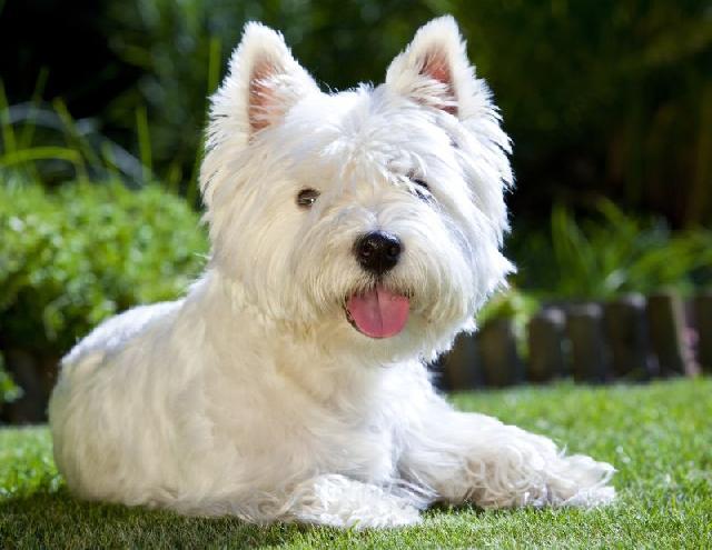 cachorros-para-apartamento-west-highland-white-terrier