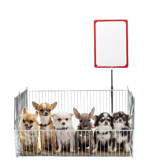 Cachorros para comprar e adotar