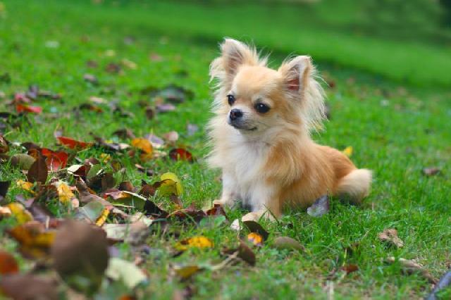 cachorros-pequeno-porte-chihuahua