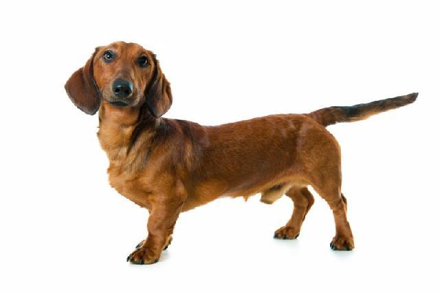 cachorros-pequeno-porte-dachshund