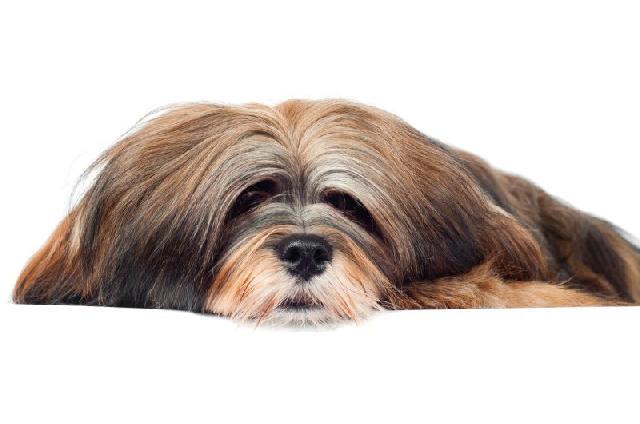 cachorros-pequeno-porte-lhasa-apso