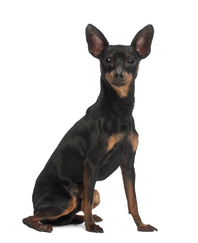 cachorros-pequeno-porte-pinscher