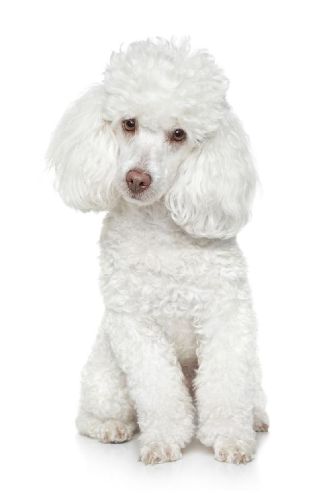 cachorros-pequeno-porte-poodle