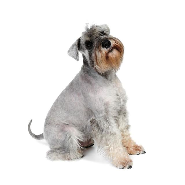 cachorros-pequeno-porte-schnauzer