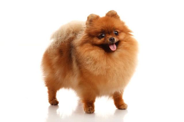 cachorros-pequeno-porte-spitz-alemao