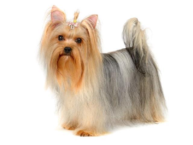 cachorros-pequeno-porte-yorkshire-terrier