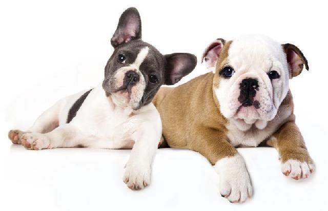 cachorros-pequeno-porte