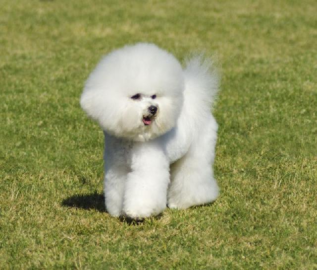 cachorros-pequenos-bichon-frise