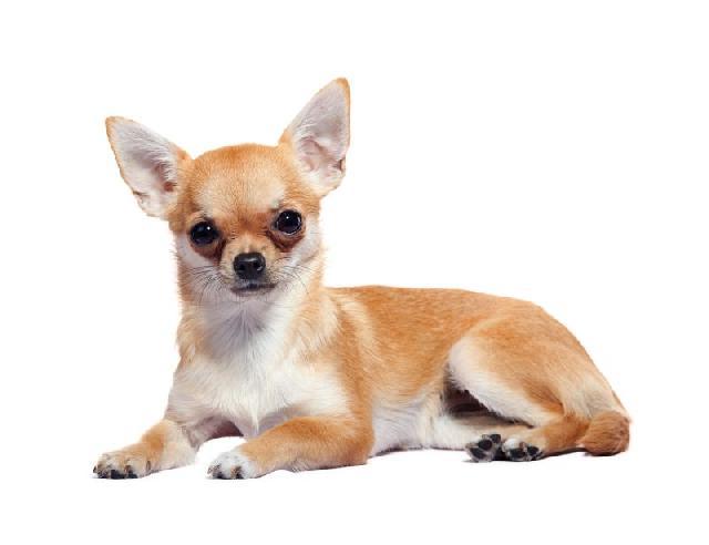 cachorros-pequenos-chihuahua