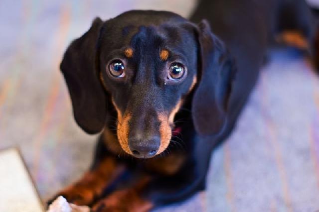 cachorros-pequenos-dachshund