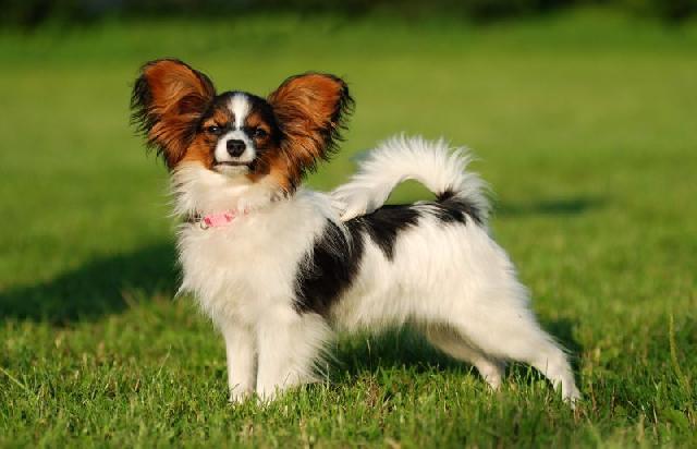 cachorros-pequenos-papillon