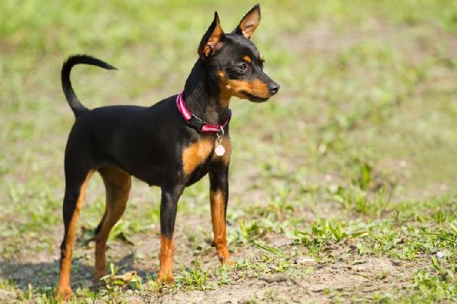 cachorros-pequenos-pinscher