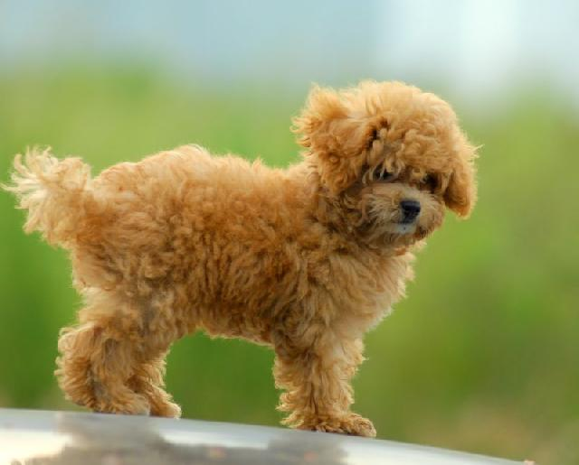 cachorros-pequenos-poodle-toy