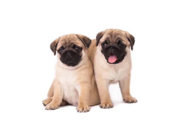 cachorros-pequenos-pug