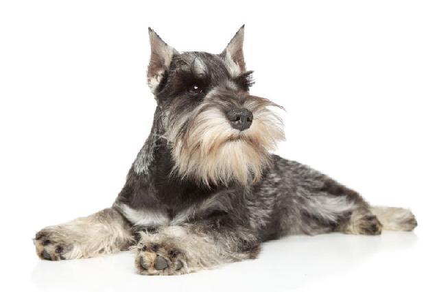 cachorros-pequenos-schnauzer-miniatura