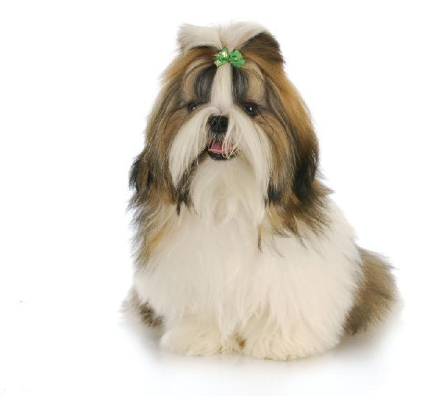 cachorros-pequenos-shih-tzu