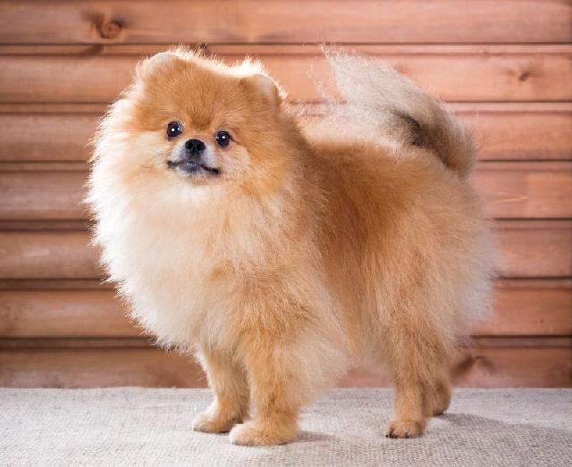 cachorros-pequenos-spitz