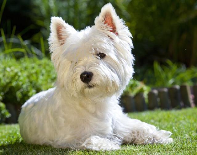 cachorros-pequenos-west-highland