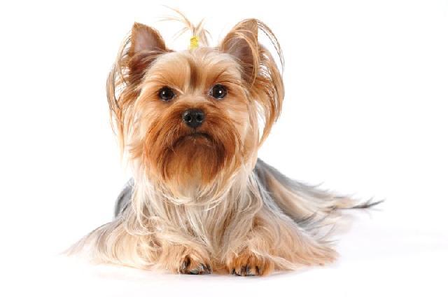 cachorros-pequenos-yorkshire-terrier