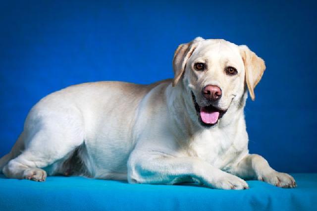 Cães mais carinhosos - Labrador