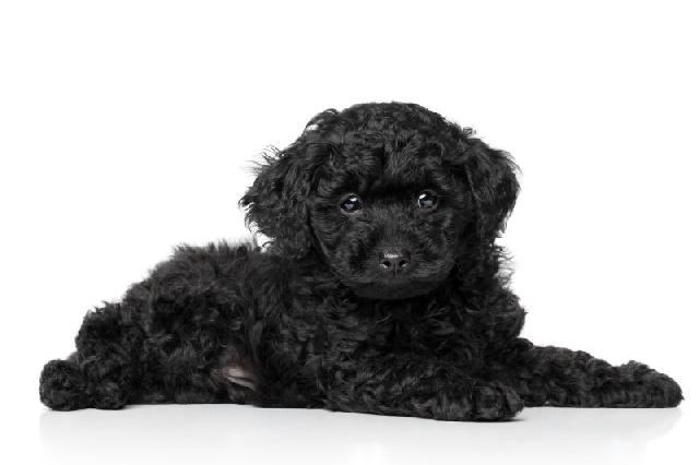 caes-miniatura-poodle