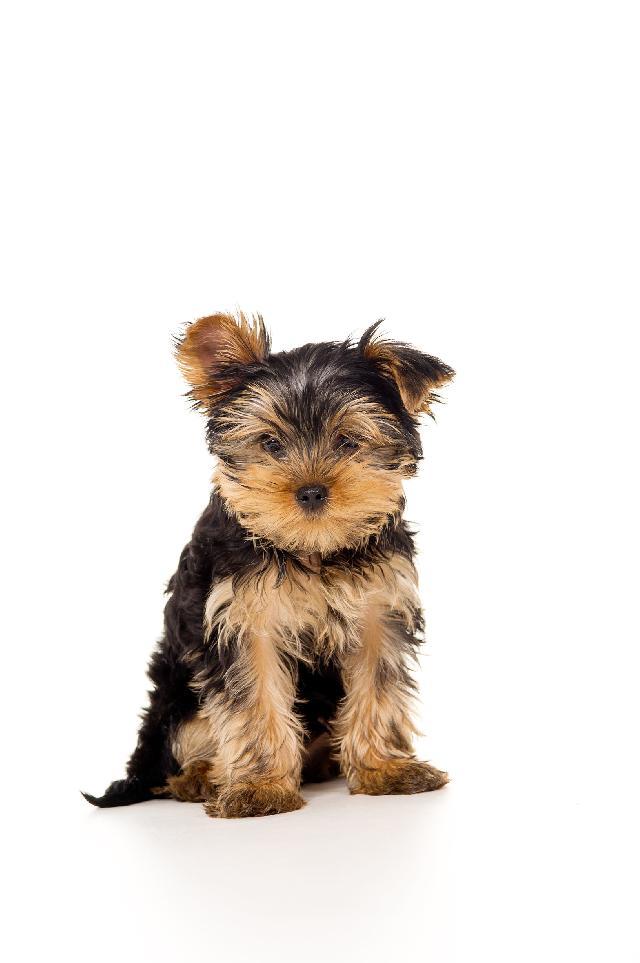 Cães Pequenos - Raças, Portes e Tamanhos