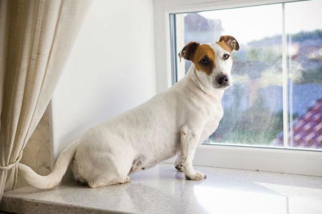 Estudo mostra o pessimismo dos cachorros