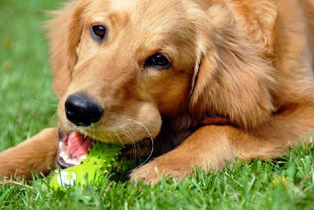 cães de quintal