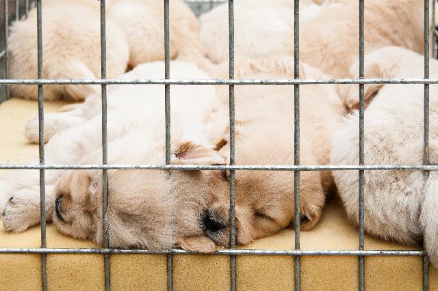 Cães à venda