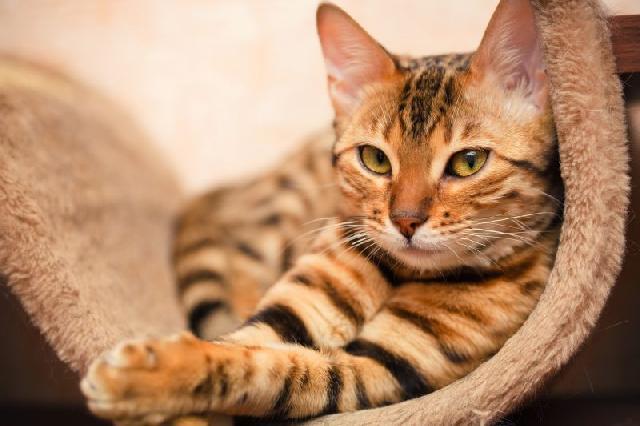 castracao-gatos