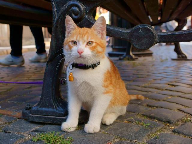 coleira-gato