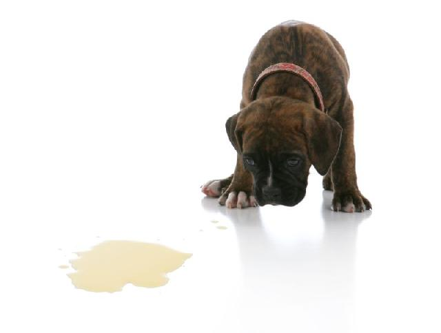como-fazer-cachorro-fazer-necessidades-lugar-certo