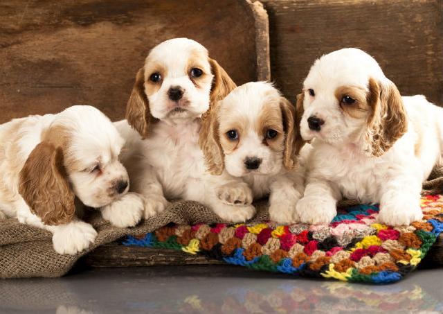 Sua cadela terá filhotinhos em breve?