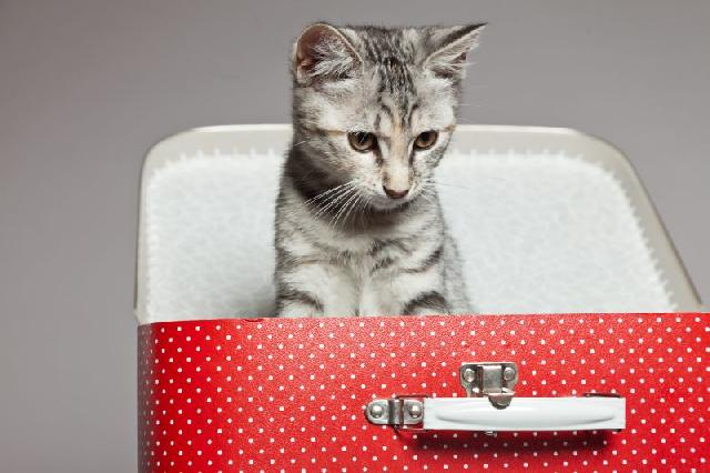 Como Viajar com Gatos