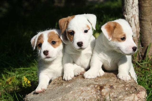 cruzar-cachorro