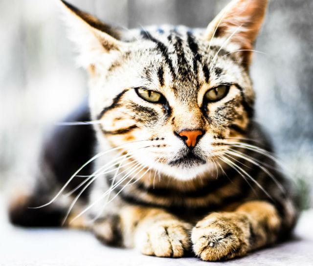 Dez curiosidades sobre felinos