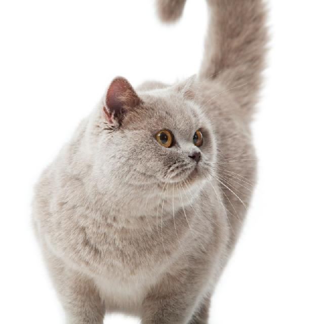diabetes-felina