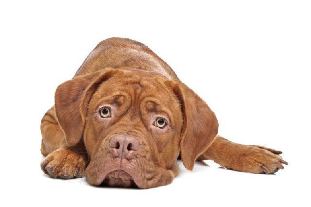 diarreia-canina