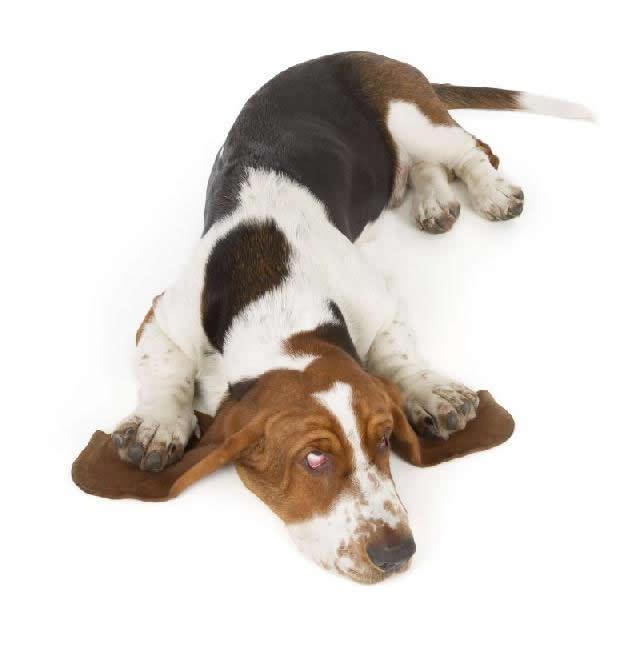 Distrição respiratória em cães e gatos