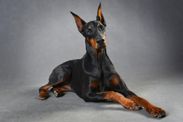 dobermann-caes-mais-inteligentes