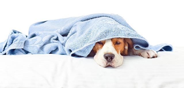 Doenças em Cães