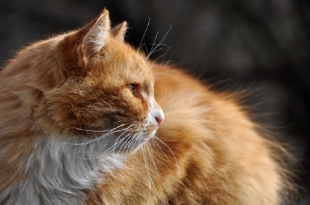 doencas-felinas