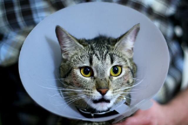 Especialista veterinário em felinos