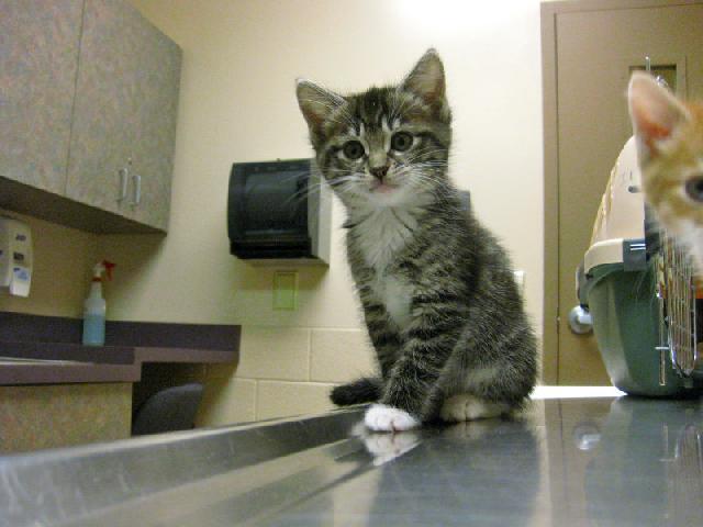 Profissional veterinário especialista em gatos
